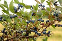Blueberries - before shot | The Learning Farm| Commercial Fruits & Nuts | Farm & Ranch | Arkansas Extension