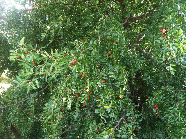 Picture of jujube tree with fruit