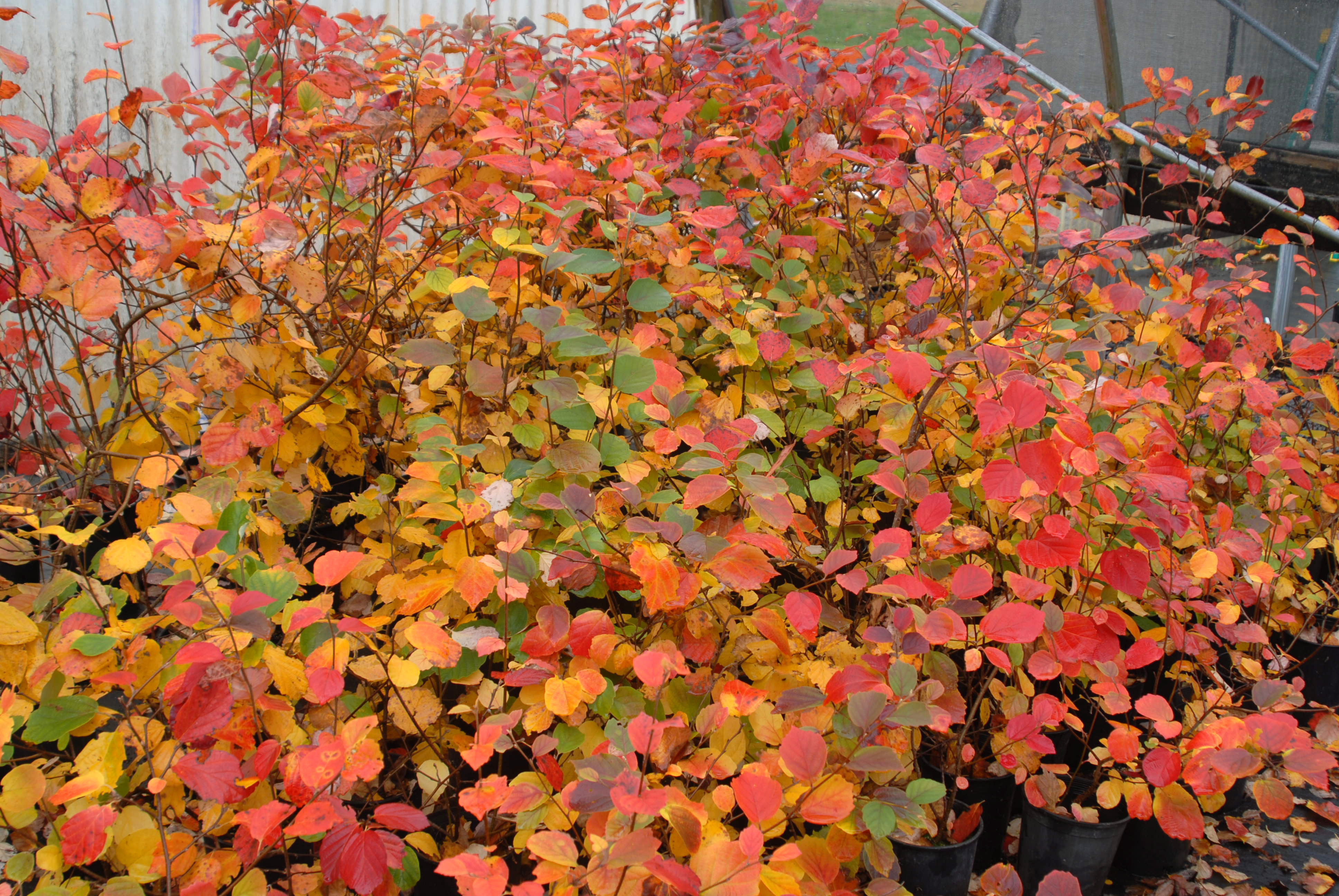 Magic Carpet Spirea Fall Color Vidalondon