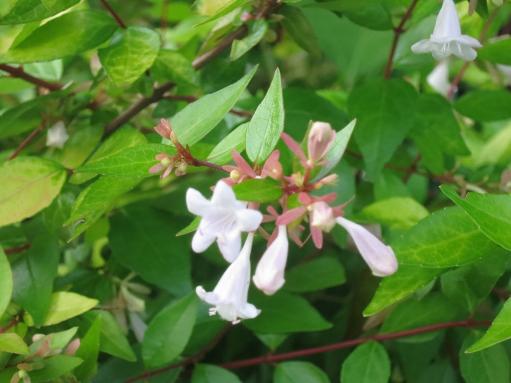 white flowers on the summer blooming abelia