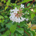white flowers on abelia