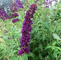 dark purple bloom on butterfly bush