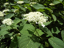white blooms on smooth hydrangea