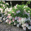 panicle hydrangea with white flowers turning pink