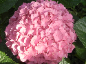 pink mophead bloom on a big leaf hydrangea