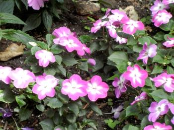 Photo of lilac and white flowering impatiens with healthy green leaves