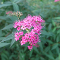 pink bloom on spirea