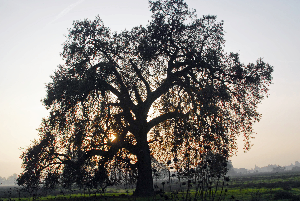 Large shade tree in a field, huge branches reaching the ground