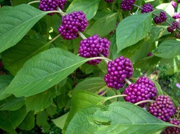 Bright purple colored berries in small bunches lining the green limbs among the green leaves of this plant.