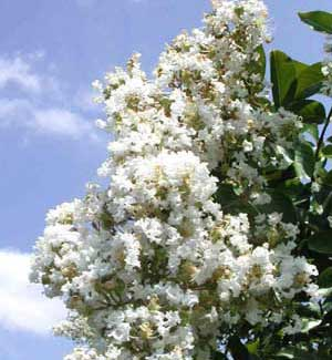 Picture close up of Acoma Crapemyrtle white flowers