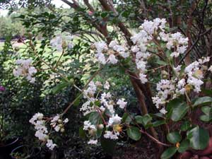 Picture of Byer's Wonderful White Crapemyrtle flowers
