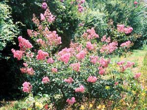 Picture of Caddo Crapemyrtle shrub showing form and flowers