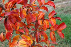 Picture of Catawba leaves in yellow and orange fall color.