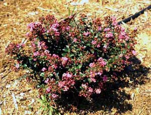 Picture of Chickasaw Crapemyrtle dwarf showing form and flowers
