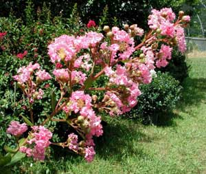 Picture close up of Choctaw Crapemyrtle bright pink flowers