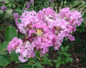 Picture close up of Conestoga Crapemyrtle pale lavender flowers