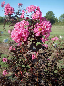 Picture of Delta Jazz Crapemyrtle shrub showing flowers