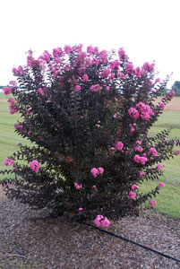 Picture of Delta Jazz Crapemyrtle shrub showing form and flowers