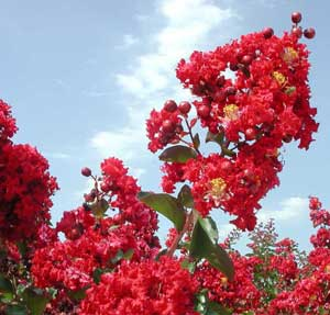 Picture close up of Dynamite Crapemyrtle red flowers