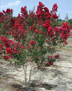 Picture of Dynamite Crapemyrtle tree showing form