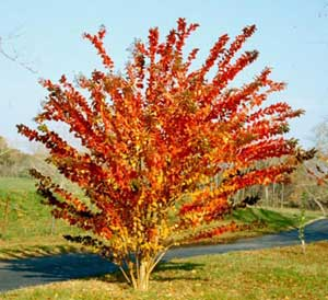 Picture of Crapemyrtle tree in flaming orange fall color.