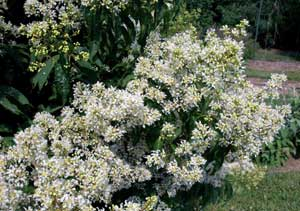 Picture of Kiowa Crapemyrtle white flowers