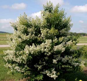 Picture of Kiowa Crapemyrtle tree showing form