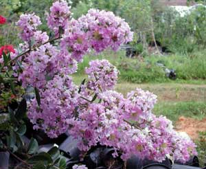 Picture close up of Lipan Crapemyrtle light lavender flowers