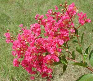 Picture close up of Miami Crapemyrtle dark pink flowers