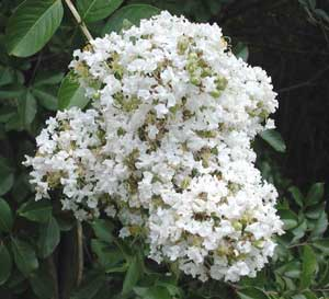 Picture close up of Natchez Crapemyrtle white flowers