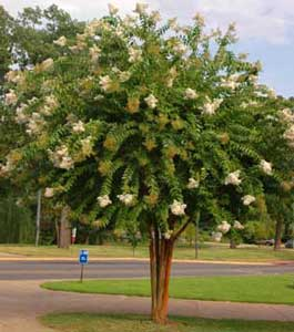 Picture of Natchez Crapemyrtle tree showing form