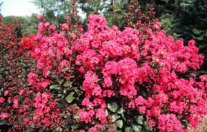 Picture close up of Pink Velour Crapemyrtle bright pink flowers