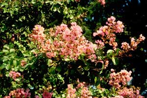 Picture of Potamaci Crapemyrtle pink flowers