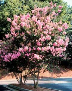 Picture of Potomac Crapemyrtle tree showing form