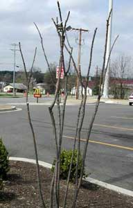 Picture of example of selective branch removal (thinning).