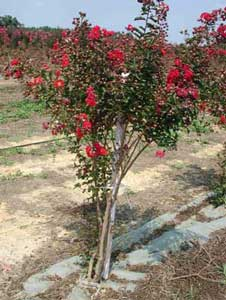 Picture of Red Rocket Crapemyrtle tree showing form and flowers
