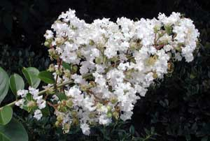 Picture close up of Sarah's Favorite Crapemyrtle white flowers