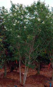 Picture of Sarah's Favorite Crapemyrtle tree showing form and flowers