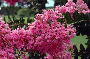Picture close up of Sioux Crapemyrtle vivid pink flowers
