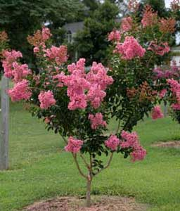 Picture of Sioux Crapemyrtle tree showing form and flowers