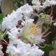 Picture of white Byer's flower clusters. Select for larger image of flowers