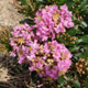 Picture of Dazzle Me Pink flower clusters. Select for larger images of form and flowers
