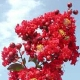 Picture of red Dynamite flower clusters. Select for larger images of form and flowers