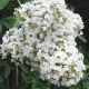 Picture of white Natchez flower clusters. Select for larger images of form, flowers, and bark.