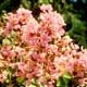 Picture of pink Potomac flower clusters. Select for larger images of form, flowers, and bark.