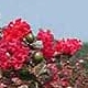 Picture of red Red Rocket flower clusters. Select for larger images of form and flowers