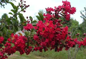 Picture close up of Victor Crapemyrtle red flowers