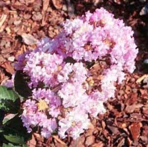 Picture close up of Yuma Crapemyrtle lavender flowers