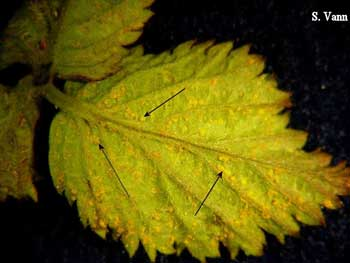 Cane and Leaf Rust 2 image
