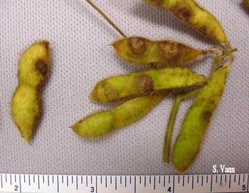 Anthracnose 1 image
